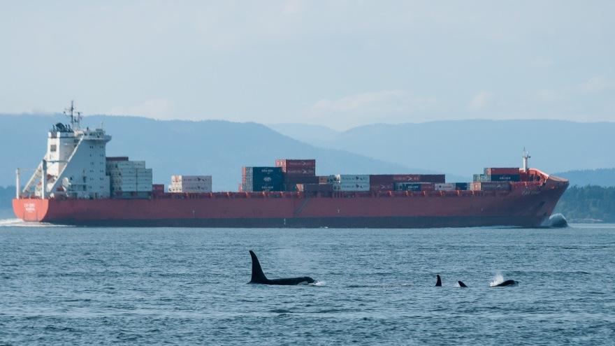 Puget Sound Orcas