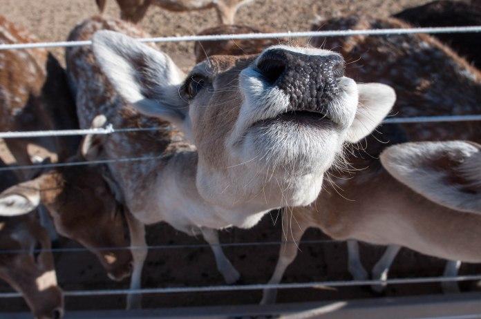 Deer Nose